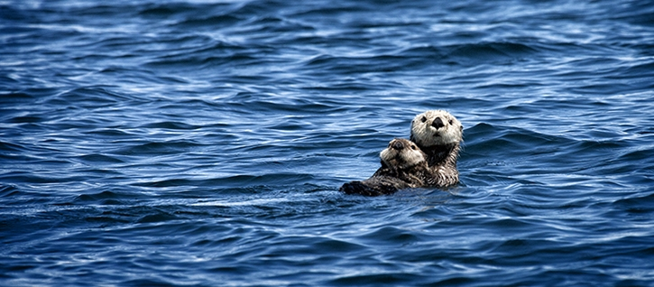 HK Barlow Prince William Sound, Alaska - Otter Family