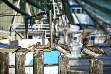 Brown Pelicans on the Docks
