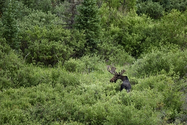 Colorado Bull Moose Checking His  Perimeter