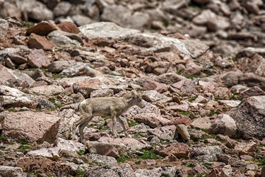 Baby Bighorn Trying to Keep Up with Mom