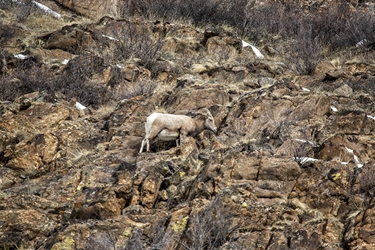 Ewe Climbing Through the Rocky Mountainside