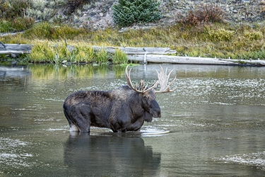 Colorado Bull Moose Eating Dinner from the Bottom of the Lake