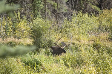 Colorado Bull Moose in the Willows