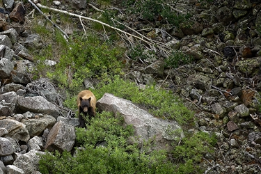 Colorado Cinnamon Bear on the Mountainside
