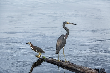 Green and Great Blue heron Fishing Together