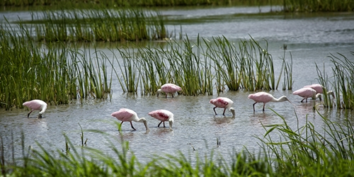 A Bowl of Roseate Spoonbills