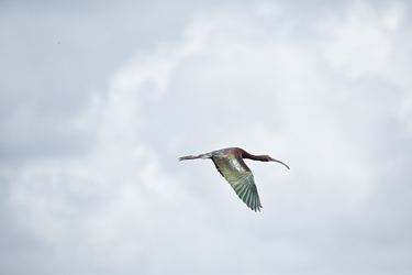 Glossy Ibis in the Clouds