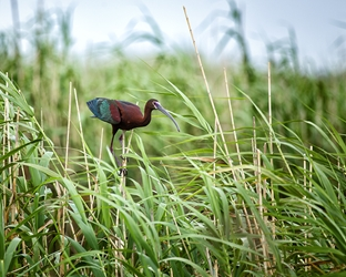 White-Faced Ibis on a Reed