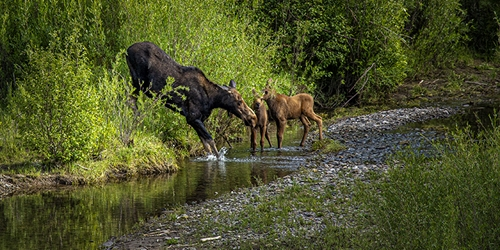 Momma Moose and the Twin Calves in the Creek