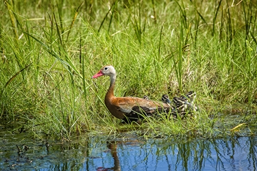 Black Bellied Whistling Duck with Babies
