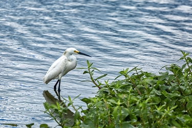 White Egret Wading in the Pond